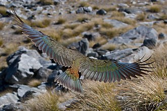 Bird flight - A kea in flight.