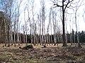 Kerský les, březový háj.jpg