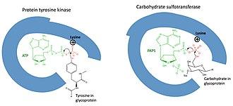 Carbohydrate sulfotransferase - Image: Kinase mechanism vs sulfotransferase mechanism