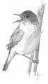 Kleine karekiet Acrocephalus scirpaceus Jos Zwarts 9.tif