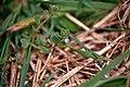 Klimopbladereprijs (Veronica hederafolia) (27883347315).jpg