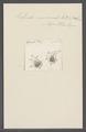 Kolpoda mucronata - - Print - Iconographia Zoologica - Special Collections University of Amsterdam - UBAINV0274 113 14 0009.tif