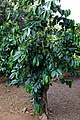 Kona Coffee tree.jpg