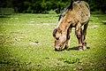 Konik horse (17201145521).jpg