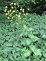 Korina 2011-06-20 Brassica nigra.jpg
