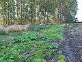 Korina 2011-09-30 Heracleum mantegazzianum.jpg