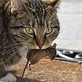 Kot z myszą.jpg