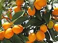 Kumquats Zwergorangen - panoramio.jpg