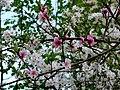 Kwitnąca brzoskwinia - panoramio.jpg