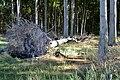 LSG Kühlung - Nienhäger Holz (Gespensterwald) - Sturmschaden (1).jpg