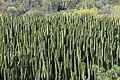 La Palma - Villa de Mazo - Lugar Playa La Salemera-Lomo Oscuro - Euphorbia canariensis 05 ies.jpg