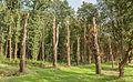 Laan met meerdere dode bomen. Locatie, het Katlijker Schar (Ketliker Skar) 01.jpg