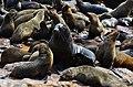 Lachtani na Cape Cross - Namibie - panoramio (7).jpg