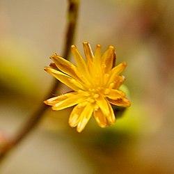Lactuca canadensis WILD LETTUCE (3362992724).jpg