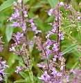 Lamiaceae (Syncolostemon canescens) (50636773302).jpg