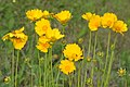 Lance-leaved Coreopsis (Coreopsis lanceolata), photographed on 12 May 2020, Hardin County, Texas, USA, by William L. Farr.jpg
