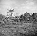Landschap met bomen bij Askelon met op de achtergrond archeologische muurresten , Bestanddeelnr 255-1459.jpg