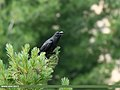 Large-billed Crow (Corvus macrorhynchos) (35525307633).jpg