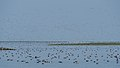Large Flock of Ducks at Nalabana Bird Sanctuary (19401114933).jpg