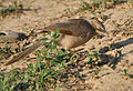 Large Grey Babbler (Turdoides malcolmi) foraging at Hodal I IMG 5875.jpg