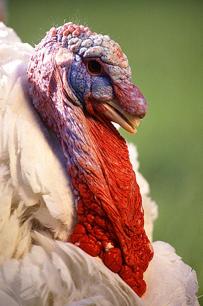 File:Large White turkey male.jpg