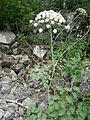 Laserpitium latifolium000.JPG