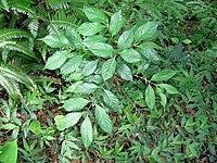 Lasianthus fordii 琉球雞屎樹 (天問)