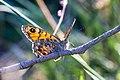 Lasiommata megera -2041 - Flickr - Ragnhild & Neil Crawford.jpg