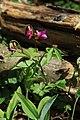 Lathyrus vernus in national nature reserve Vyšenské kopce in spring 2012 (1).JPG