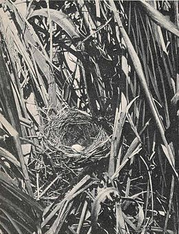 Laysan Honey Eater nest