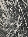 Laysan Honey Eater nest.jpg