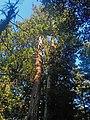 Le sequoie gemelle.jpg