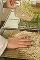 Lecture des semences de pois sur substrat sable sur trémis 17-cliche Jean Weber (9) (23048438354).jpg