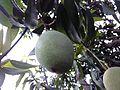 Lemon leaves 02.jpg
