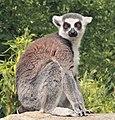 Lemur Catta (Linnaeus, 1758).jpg