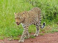 Leopard (Panthera pardus) female leaving ... (13901468902).jpg