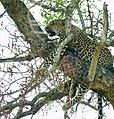 Leopard (Panthera pardus) female resting in a tree ... (51218046394).jpg