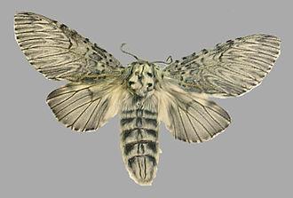Cerura vinula - Mounted specimen