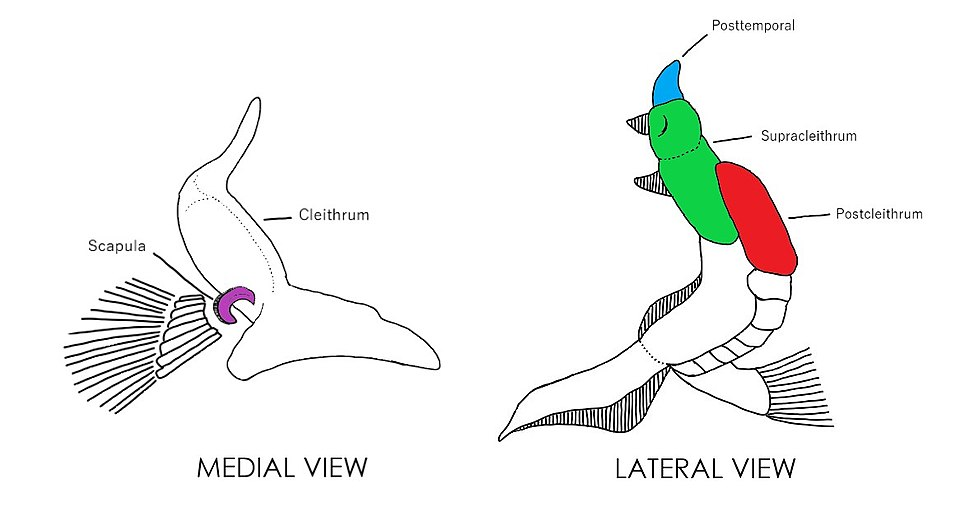 Lepisosteidae Pectoral Girdle