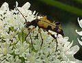 Leptura maculata.JPG