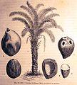 """Les merveilles de l'industrie, 1873 """"Cocotier de Guinée"""". (4306328388).jpg"""