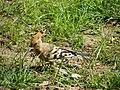 Les oiseaux d'Egypte - panoramio - youssef alam (7).jpg