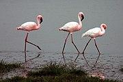Lesser Flamingos in the Ngorongoro Crater, Tanzania