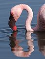 Lesser Flamingo, Phoenicopterus minor at Marievale Nature Reserve, Gauteng, South Africa (27902071565).jpg