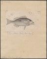 Lethrinus harak - 1700-1880 - Print - Iconographia Zoologica - Special Collections University of Amsterdam - UBA01 IZ13100049.tif