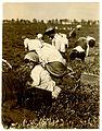 Lewis Hine, Rosie Passeralla, age 5, berry picker, Browns Mills, New Jersey, 1910.jpg
