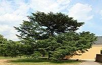 Libanon-Zeder Naturdenkmal Schloss Johannisberg Rheingau (01).jpg