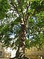 Liberty Tree, Bayeux - panoramio.jpg