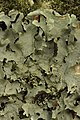 Lichen (28248943608).jpg