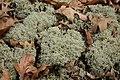 Lichen Shawnee NP.jpg